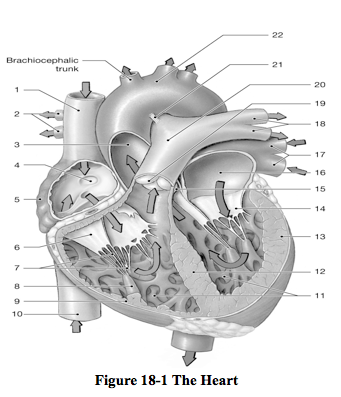 a p 2 chapter 19 learnsmart heart Anatomy & physiology ii blinn college • bryan • natural sciences • biology - biol  work connect optional & required and learnsmart for chapter 18 review with a&p revealed module 9 5 9/18 connect required ch 18 due by 11pm  9/19 study ch 19: heart work what should i know ch 19 as you go through it.