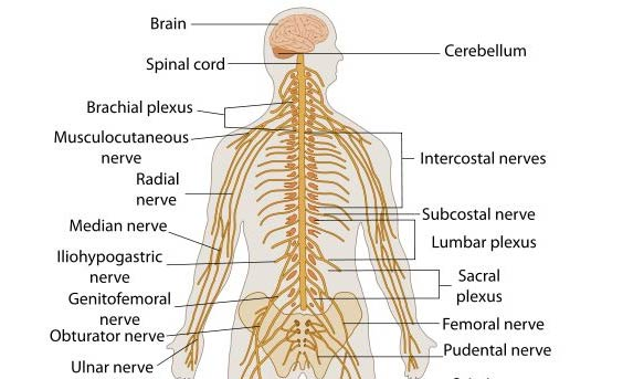 Story likewise 521 Neck Anterior View Veins besides Female Reproductive System Organs And Functions Presentation Quotchapter 18 Lesson 1 Structure Of The Endocrine also 1945439 32806006023 moreover 673 Hip Thigh Knee Posterior View Superficial Muscles Blood Vessels And Nerves. on endocrine system anatomy