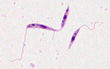 Haemoflagellate Parasites Proprofs Quiz