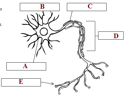 muscular skeletal & nervous system quiz proprofs quiz : neuron diagram quiz - findchart.co