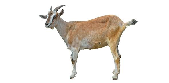 Which Type Of Goat Are You Proprofs Quiz
