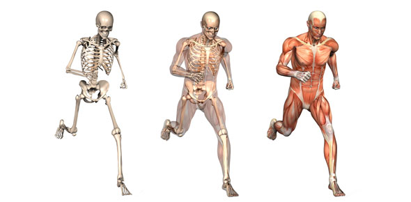 Image of human anatomy models for skeleton and muscles