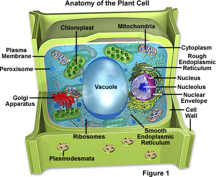 Examples of Specialized Plant Cells http://www.proprofs.com/quiz-school/story.php?title=do-you-know-your-types-parts-cells