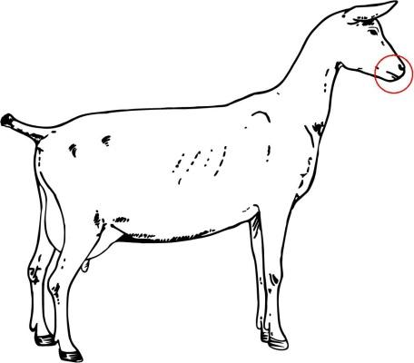 Goat Anatomy Proprofs Quiz