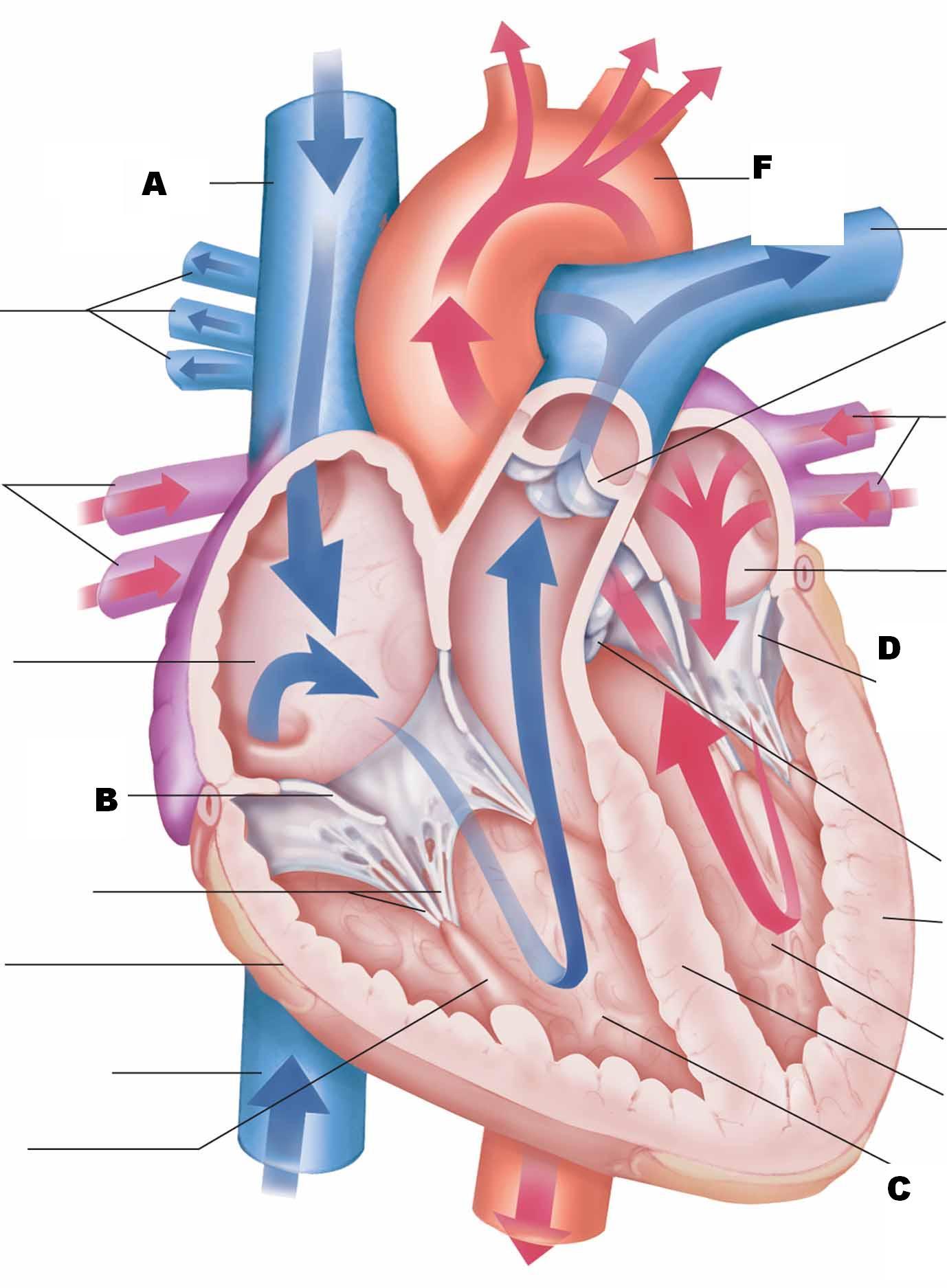 Tolle Proprofs Anatomy And Physiology Zeitgenössisch - Menschliche ...