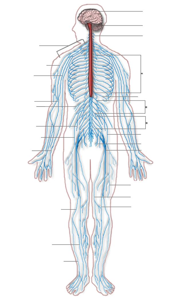 Healthy Body Systems 1 Proprofs Quiz