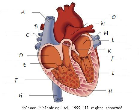 Heart parts diagram data set heart parts diagram images gallery ccuart Gallery