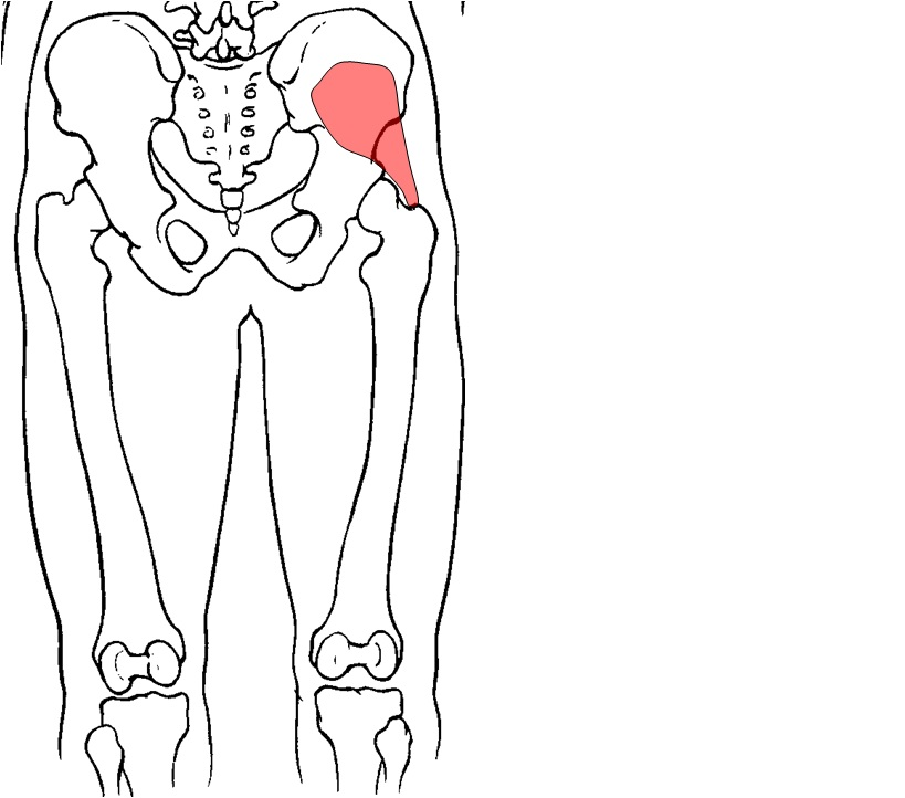 anatomy hip joint muscles