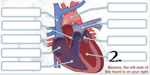 Pick correct options for human heart quiz proprofs quiz a specific part of the heart is labeled pick the correct answers from the choices below ccuart Images