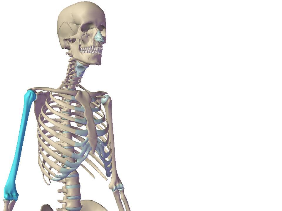 Huesos esqueleto humano proprofs quiz