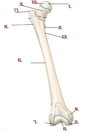 Lower Limb Anatomy Quiz