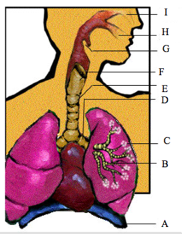 respiratory system multiple choice questions pdf