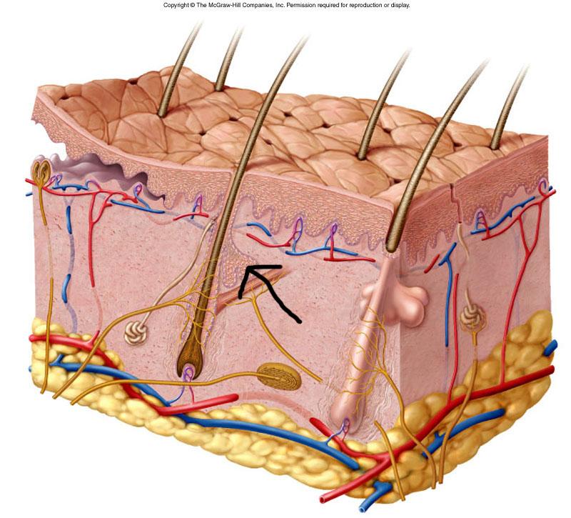 Skin Lab Practice Exam - A U0026p