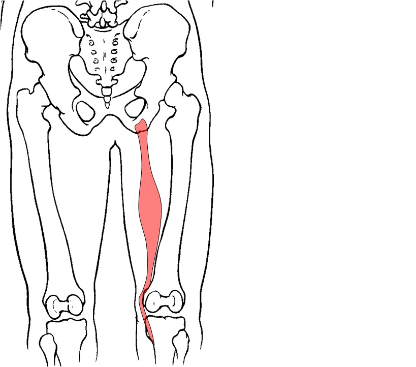 Hip joint anatomy muscles