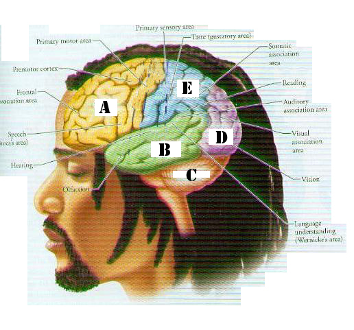 Brain Lobes - ProProfs Quiz