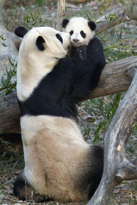 Giant Panda Cam  Smithsonians National Zoo