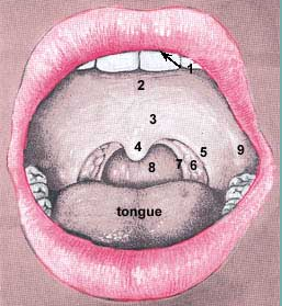 palatine tonsil position