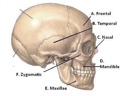 Muscles And Bones Of The Face Proprofs Quiz