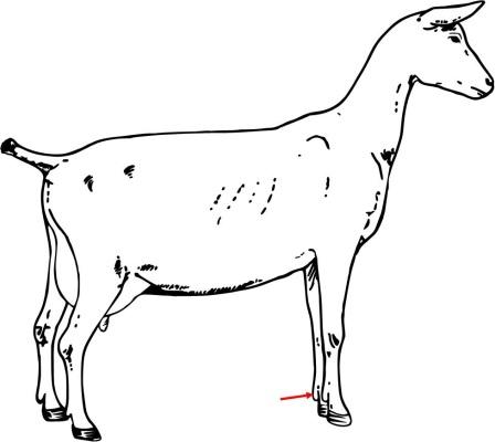 Goat Anatomy - ProProfs Quiz