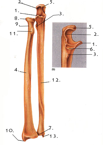 Pectoral Girdle And Upper Limb Quiz - ProProfs Quiz