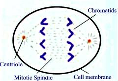 Test your mitosis and meiosis knowledge proprofs quiz which stage of mitosis is depicted in the diagram below ccuart Images