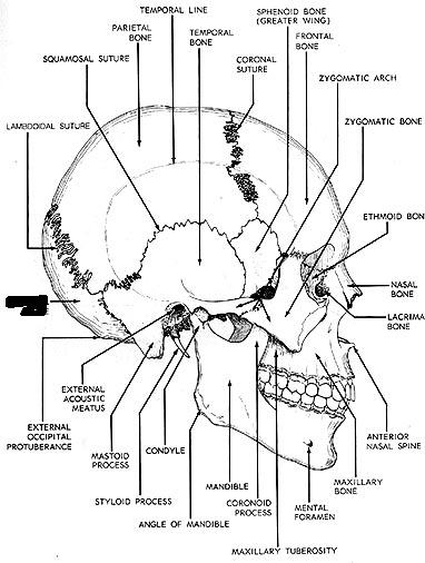 Skull Parts And Vertebral Colum