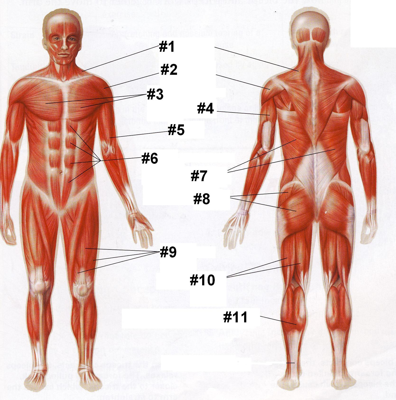 Human Muscle Anatomy Quiz Questions - ProProfs Quiz