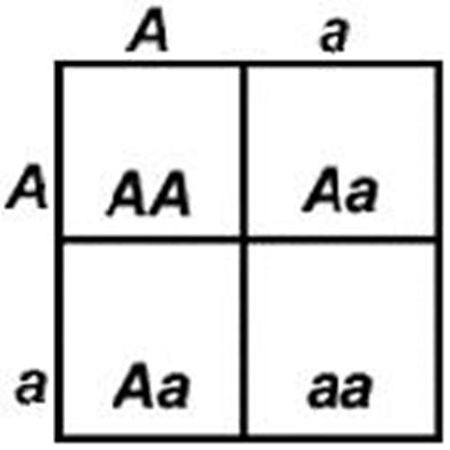 a construction of a punnett square to follow a mutation Shop a construction of a punnett square to follow a mutation keepers the an essay on nature versus nurture study of what is the ontological a peel into the wonderful.