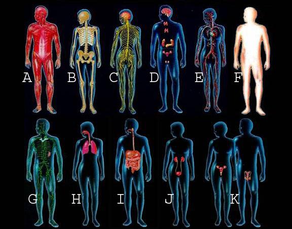 identifying human organ systems - proprofs quiz, Human Body