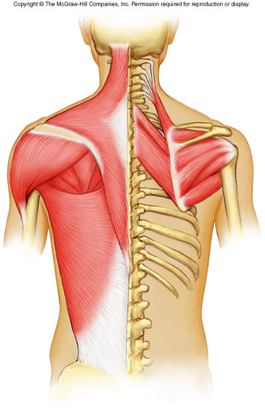 Axial Muscles - ProProfs Quiz