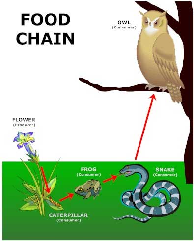 What Is The Snake An Example Of In The Food Chain Given Below