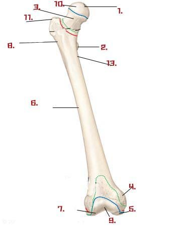 lower limb anatomy quiz - proprofs quiz, Skeleton