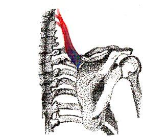 The Anatomy Of The Shoulder Quiz