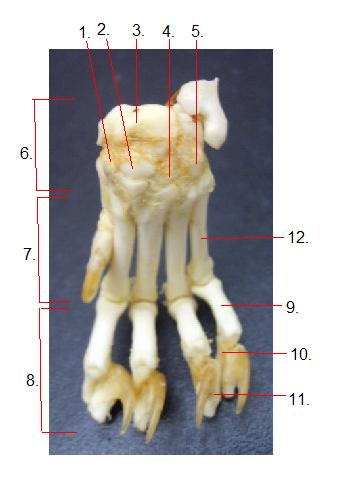 assessment of the cat appendicular skeleton - proprofs quiz, Skeleton