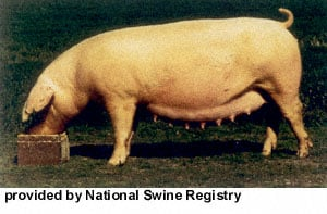 Swine Breed Identification