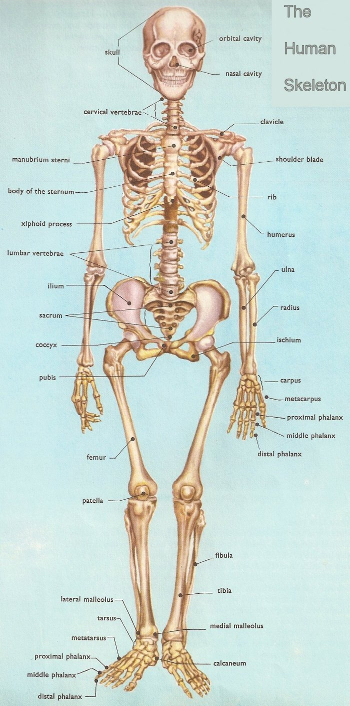Anatomy Practice Quiz On Skeletal System