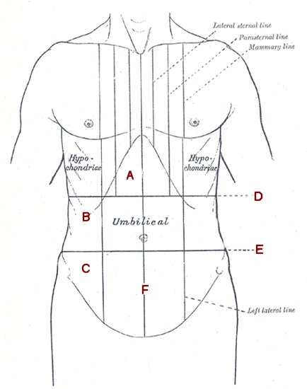 Abdomen And Thorax