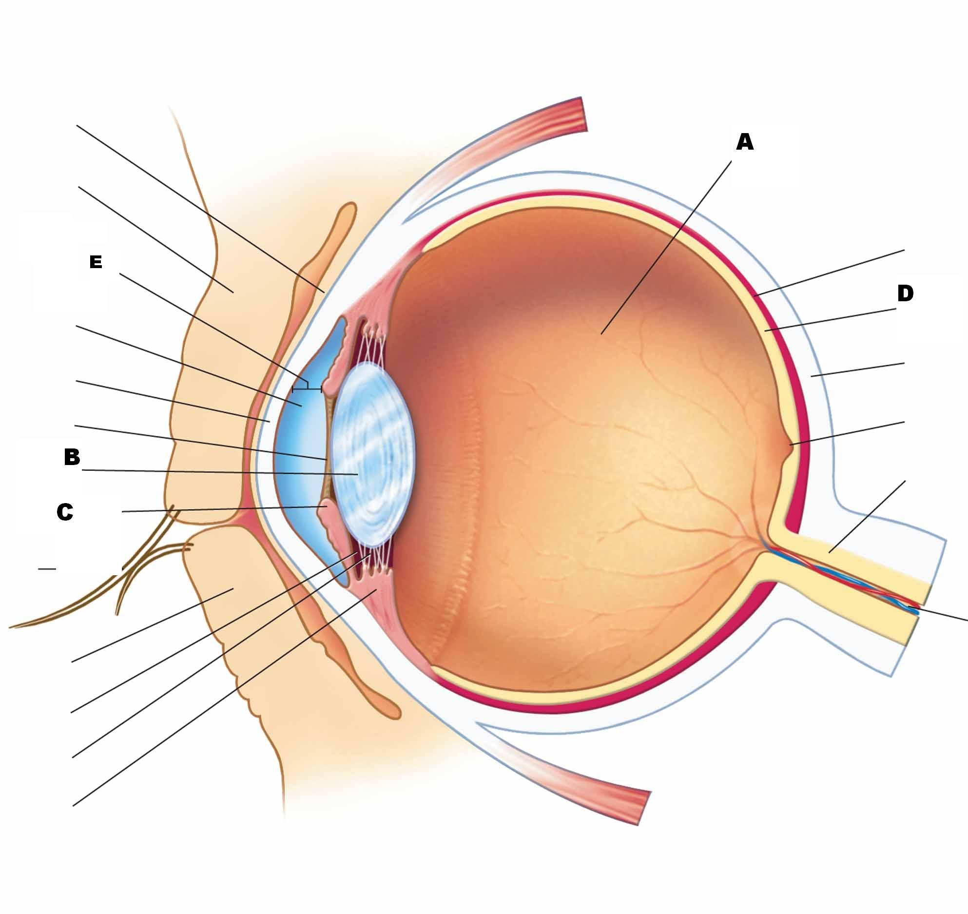 Eye Anatomy Diagram Test - Wiring Diagram •