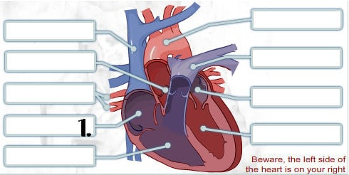 Pick Correct Options For Human Heart Quiz Proprofs Quiz