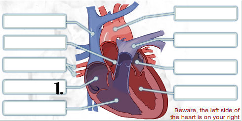 Pick correct options for human heart quiz proprofs quiz a specific part of the heart is labeled pick the correct answers from the choices below ccuart Image collections