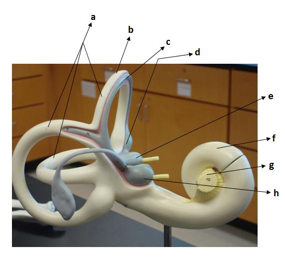 ear proprofs quiz : cochlea diagram quiz - findchart.co