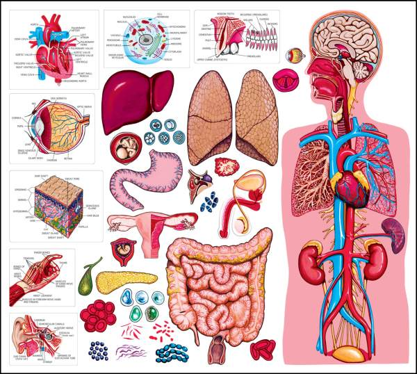 Quiz on human body organs. There are 20 questions. 15 will be randomly ...