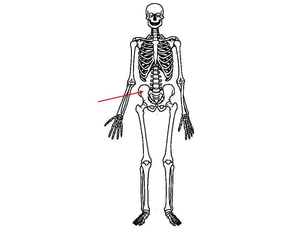 Lower Skeleton