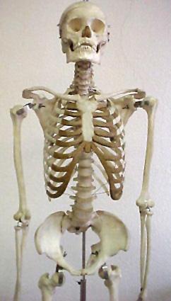фото скелет человека мужчины