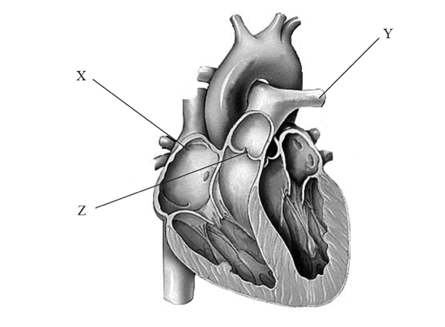 Nice Human Heart Diagram Without Labels Pattern - Human Anatomy ...