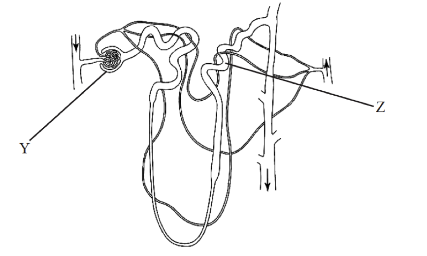 Kidney nephron by noahtattersall memorize learn and remember label answer ccuart Image collections