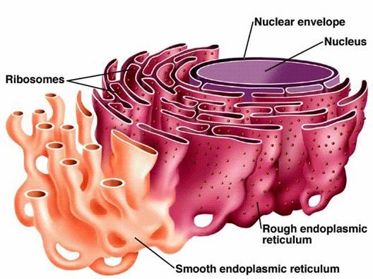 Rough Endoplasmic Reticulum - Communication