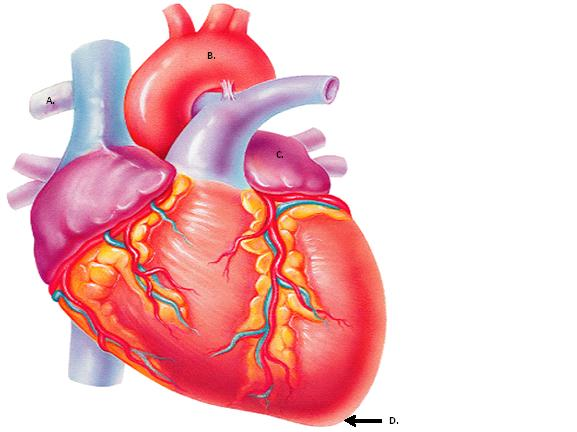 Unit IV: Anatomy Of The Heart & Blood Vessels - ProProfs Quiz