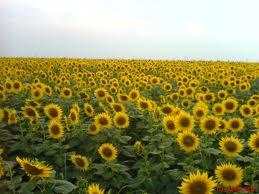 external image floarea%20soarelui.jpg