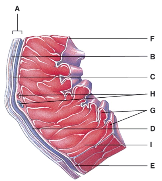 Anatomy And Physiology Questions - The Cardiovascular System: The Heart